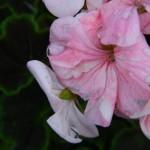 Raindrops flowers